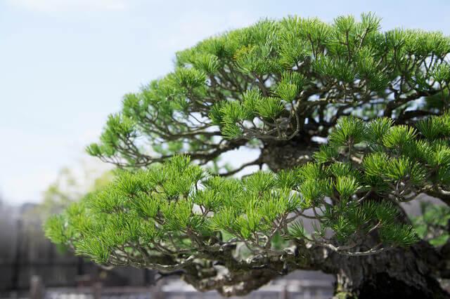 盆栽鉢の役割や樹形とのバランス