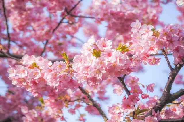 桜盆栽の望ましい育て方と管理方法