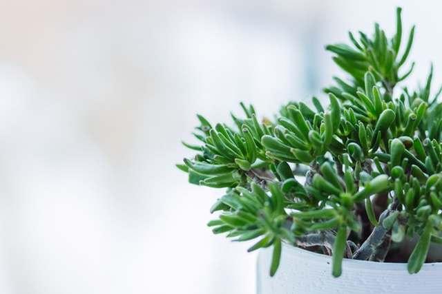 五葉松盆栽の育て方と一年の管理方法