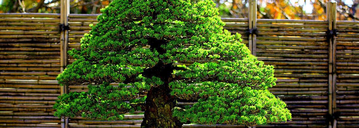 松盆栽の姿作りに効果ある肥料やりポイント